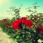 As rosas que não acabavam